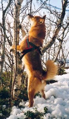 løshund skremmer det viltet